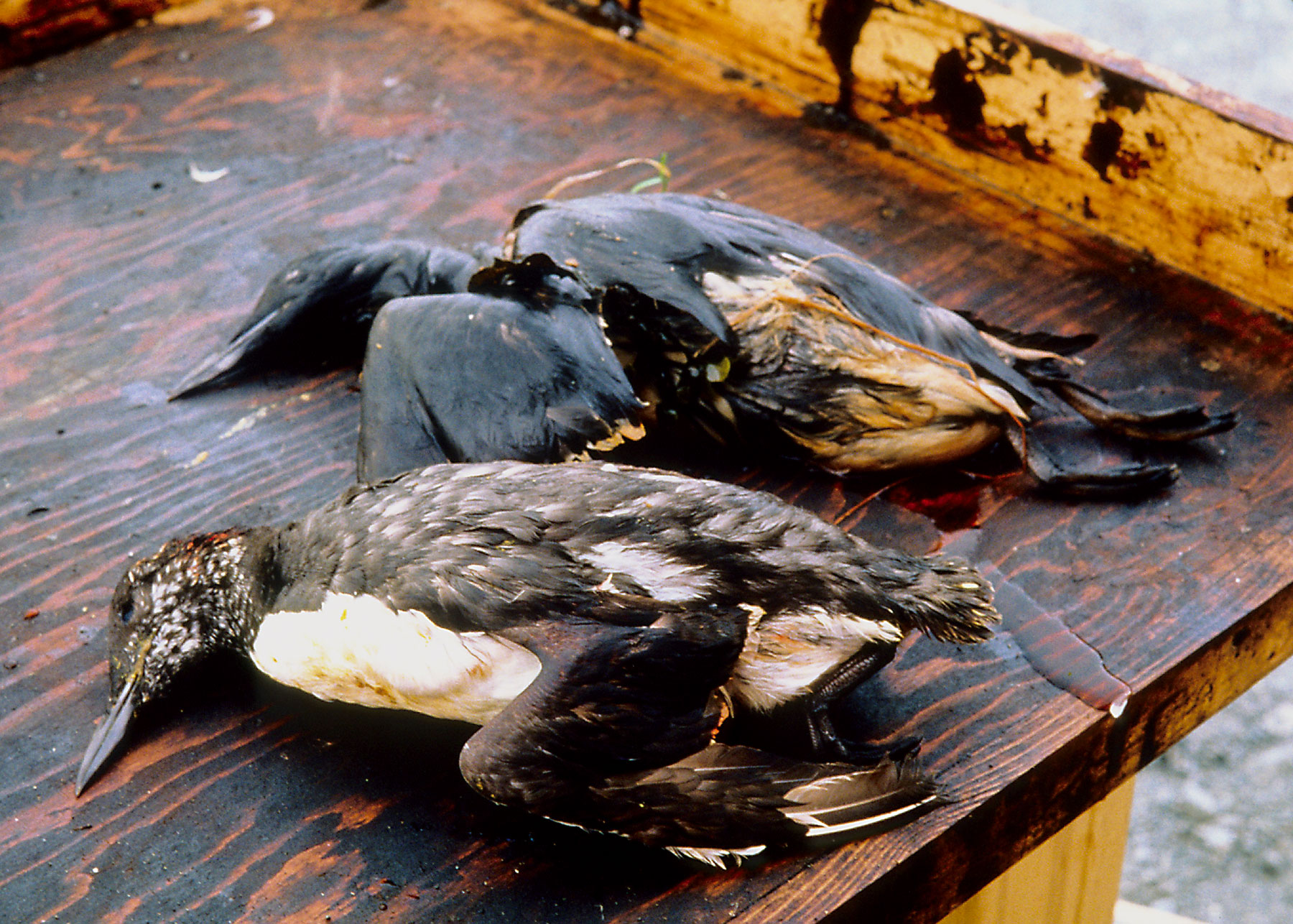 what is bioremediation in oil spills