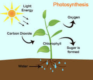 how does photosynthesis work step by step