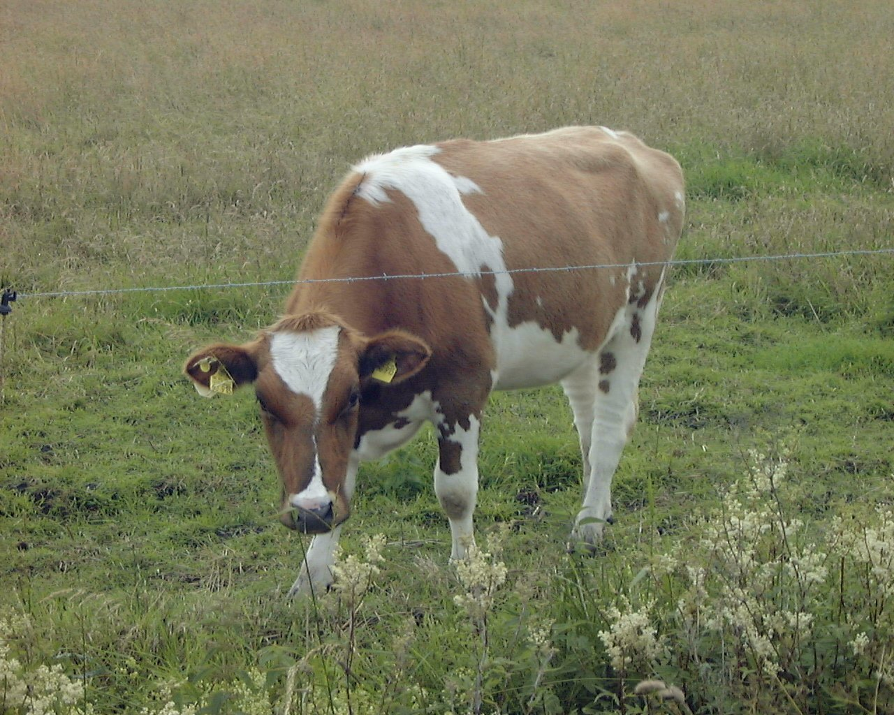 Turning Cow Manure into Energy